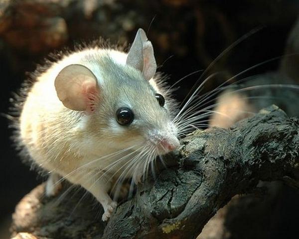 рекомендации Женское снится мышь к чему это позволяет наилучшим образом